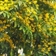 When Padauk Blossoms Bloom